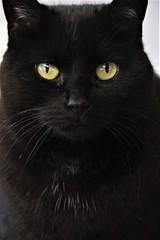 Black Cat (catherine4077) Tags: cat feline blackcat black pigsanimalsanctuary sanctuary shepherdstown westvirginia