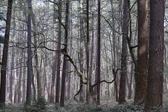 Vieil arbre dans le Hallerbos