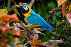 Blue & Gold Macaw (ferglandfoto) Tags: d8x4255 macaw bluegoldmacaw shadow parrot bird nature naturepicture