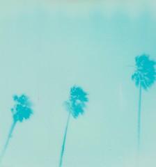 'Roid Week 2017 Day 3 (juliarholcomb) Tags: film instantfilm california alameda cyan impossibleproject palmtrees 600 spirit600 roidweek
