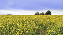 Rapeseeds Landscape (Brutal Dictator) Tags: rapeseed rapeseeds oilseed oilseeds landscape scenic scenery wideangle yellow flora floral flower plant floweringplants korea jeju cheju interesting awe wonder travel destination attraction landmark local place spring day nature natural wild wildlife livingorganism tranquility outdoor colourimage fragility freshness nopeople foregroundfocus adjustment fulllength asia fields lighteffect hdr canon eos600d rebelt3i kissx5 sigma 1770mm f284 dc macro lens 유채꽃 유채밭 꽃 봄 봄꽃 famousplace hamdeok beautiful