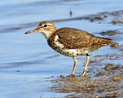 i've got the spots (Dianne M.) Tags: spottedsandpiper nature bird spots shore migration florida