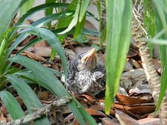 Mockingbird Fledgling (Sarah Constancia Photography) Tags: summer2013
