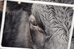 through the fenceline (CorrieVO) Tags: cows cow eye eyeball fence fenceline ranch farm dairy wenas selah yakima washington washingtonstate yakimacounty