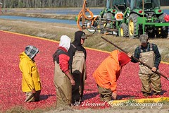 Whitesbog Cranberry Harvest  (106) (Framemaker 2014) Tags: whitesbog cranberry harvest burlington county chatsworth new jersey pinelands pine barrons southern united states america