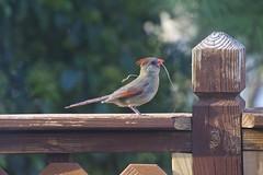 Preparing the nest (Pejasar) Tags: cardinal nesting mother preparations spring 2017