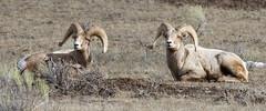 IMG_8397 Bighorn Sheep (cmsheehyjr) Tags: cmsheehy colemansheehy nature wildlife sheep ram bighornsheep nationalelkrefuge wyoming jackson oviscanadensis
