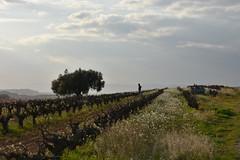 Vinya vella, Cal Pau Jan, Carrer de Can Rovira (esta_ahi) Tags: vinya viña viñedo vineyard vitisvinifera calpaujan carrerdecanrovira santpaud'ordal subirats penedès barcelona spain españa испания