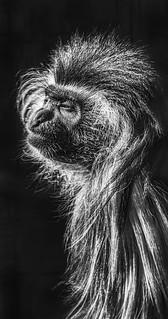 Black and White Colobus Profile Portrait