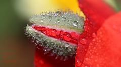 source de coquelicot (jacquescornet44) Tags: fleurs flower coquelicot poppy nature couleur eau gouttelettes rosée champs