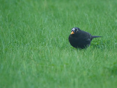 Moulting blackbird (Matt C68) Tags: bird moulting moult molting molt blackbird black turdus merula