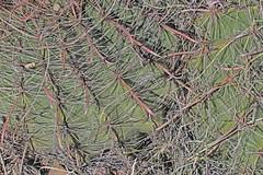 CAD0006107a (jerryoldenettel) Tags: 170324 2017 barrelcactus cactaceae caryophyllales coreeudicots ferocactus ferocactuswislizeni fishhookbarrelcactus lunaco nm springcanyonstatepark wildflower cactus flower