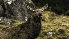 Nature's Portrait (devil=inside) Tags: stag wildlife scotland handphotography sony a77 nature outdoor highlands