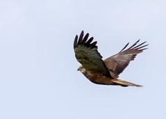 Kite, Oostvaardersplassen (Hans van der Boom) Tags: nederland netherlands ijsselmeerpolders flevopolder oostvaarderplassen animal bird predator roofvogel kiekendief bruine kite lelystad nl