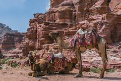 Camels at Petra (Gordon Magee) Tags: camel petra