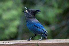 And down it goes... (lamoustique) Tags: stellersjay geaidesteller salmoncreek vancouver washington cyanocittastelleri