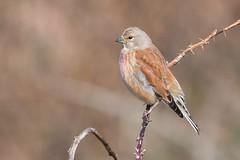 Kneu, Linnet (Paul van Agthoven) Tags: linnet inexplore explore birdwatcher hollandzoom holland texel colours birds canonllens canon100400
