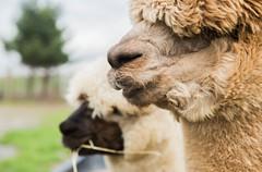 medina-7745 (FarFlungTravels) Tags: alpaca animal farm medinacounty onefineday shear wool