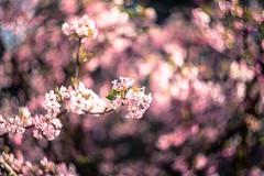 The smell of spring (mripp) Tags: flowers flower nature outside bokeh art kunst background retro vintage old smell smelling poster leica m 10 helios 258 swirly