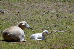 Ewe and Lamb (NC Mountain Man) Tags: field nikon d3200 ncmountainman phixe dof sheep ewe lamb pasture biltmoreestate