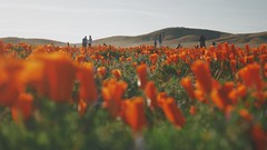 Antelope Valley California Poppy Reserve (2017) (manofmanyframes) Tags: lancaster lancasterca cityoflancaster cinematography cinematographer cinematic cine poppy california californiapoppy poppies antelopevalley antelopevalleycaliforniapoppyreserve orange wander warmtones wildflower antelopeacres photography photographersontumblr photographer originalphotography originalphotographer goldenhour vsco vscogood vscocam vast spring flowers panasonic panasonicg7 panasoniclumixg7 lumixg7 lumixlounge lumix