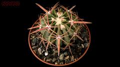Echinocactus Texensis (Nyxtofulakas) Tags: echinocactus texensis plant nature succulent cactus spines long selection