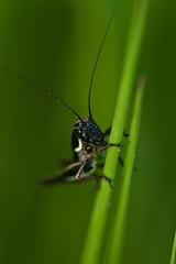 sauterelle noire - black grasshopper (Denis Vandewalle) Tags: sauterelle grass grasshopper nature macro tamron pentaxk5 denisvandewalle bokeh
