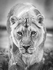 (LIL Scarab) Tags: canon france lion zoo tete dor ff 5dmarkiv eos lyon mylyon onlylyon 24x36 ef100400mmf4556lisiiusm14x extender llens bw nb blackandwhite animals iso8000 highiso