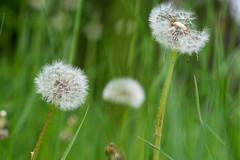 Blowball / Pusteblume (NEX69) Tags: dandelion löwenzahn gewöhnlicherlöwenzahn taraxacumofficinale blowball pusteblume fe90mmf28macrogoss sonya7ii sonyalpha7ii sonyilce7m2