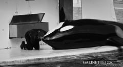 Unconditionally Love (GALINETTE1208) Tags: marineland antibes orcas killer whales orque wikie inouk keijo moana trainer love bond soigneur gianni d5200 nikon cetacean