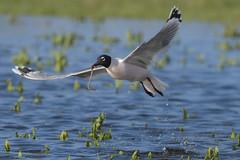 Good Catch (Amy Hudechek Photography) Tags: franklins gull hunting nature wildlife bird worm pond snow melt spring flight water take off amy hudechek colorado