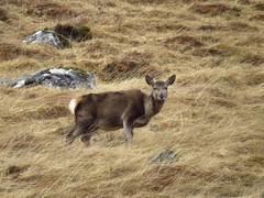 8577 Red Deer Hind in Glen Garry (Andy - Busyyyyyyyyy) Tags: 20170319 ddd deer glengarry hhh hinds reddeer rrr scotland