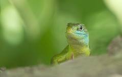 Western Green Lizard (Wouter's Wildlife Photography) Tags: westerngreenlizard lizard amphibian reptile nature wildlife tuscany lacertabilineata