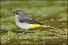 Grey Wagtail (image 1 of 2) (Full Moon Images) Tags: houghton mill nt national trust cambridgeshire river great ouse bird grey wagtail