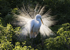 Great Egret (Barry's) (Barry & Carole Bowden) Tags: backlighting