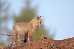 Renardeau (richardboucher1) Tags: fox renard goupil