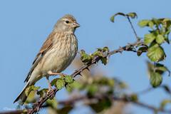 Linotte mélodieuse ( Linaria cannabina )-8 (lolo_31) Tags: aves birds cardueliscannabina commonlinnet fringillidae fringillidés linottemélodieuse oiseaux passériformes