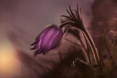 Purple Lampion (SonjaS.) Tags: pulsatilla küchenschelle kuhschelle sonnenuntergang sunset lampion purple lila lichtstimmung light mood frühling spring gegenlicht makro pflanze badenwürttemberg sonjasayer canon6d vollformat 100mm sonne sun