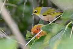 Silvereye_3980E (Zosterops lateralis) (Neil H Mansfield) Tags: zosteropslateralis silvereye whiteeye grapeeater bird nature ringeye silvery waurnponds