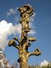 IMG_8933 - Plataan ( Platanus ) (Arnoldus1942) Tags: platanen platanus