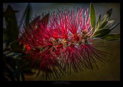 Bottlebrush (Dave Whiteman - AU) Tags: australiannativeplant bottlebrush callistemoncintrinus flower flowers plant things floral