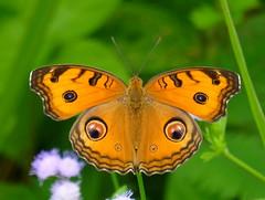 Junonia almanan (Peacock pansy) (TPittaway) Tags: junoniaalmanan kualalumpur selangor malaysia nymphalidae butterflies tonypittaway lepidoptera cyberjaya peacockpansy