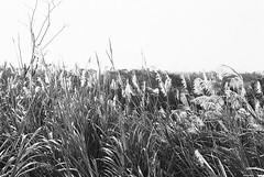 桃園市_130 (Taiwan's Riccardo) Tags: 2016 taiwan bw 135film negative plustek8200i kodakdoublex5222 slr contax137md zeisslens planar fixed 50mmf17 cymount 桃園縣 桃園市