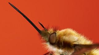 bee-fly, Bombylius major