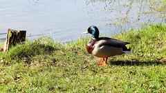 Druskininkai (11) (rimasjank) Tags: duck water spring lietuva