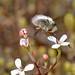 Beefly on Stylidium