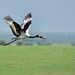Saddle-billed Stork, Uganda