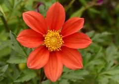 In Kristen's garden ... (barbara robeson) Tags: dahlia orange flower danville single californie barbararobeson kristensgarden