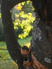 Bark peeling off a birch 2 (Kimmo R