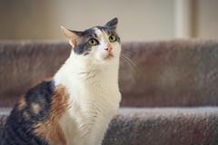 Longing Cat Look (Bartfett) Tags: orange pet cats white cute eye look cat grey eyes kitten sweet kitty calico stare pan